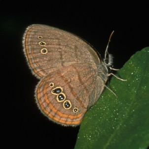 The Saint Francis Satyr Butterfly