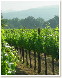 Peju_vineyards